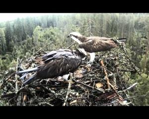 vultur pescar 4