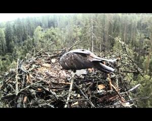 vultur pescar 5