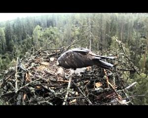 vultur pescar 6